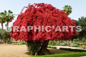 reproduction-photo-bougainvillier.jpg